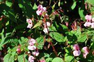 Invasiv växt: Jättebalsamin