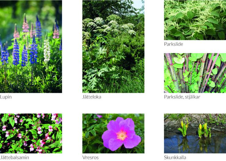 Invasiva växter: lupin, jätteloka, parkslide, jättebalsamin, vresros och skunkkalla